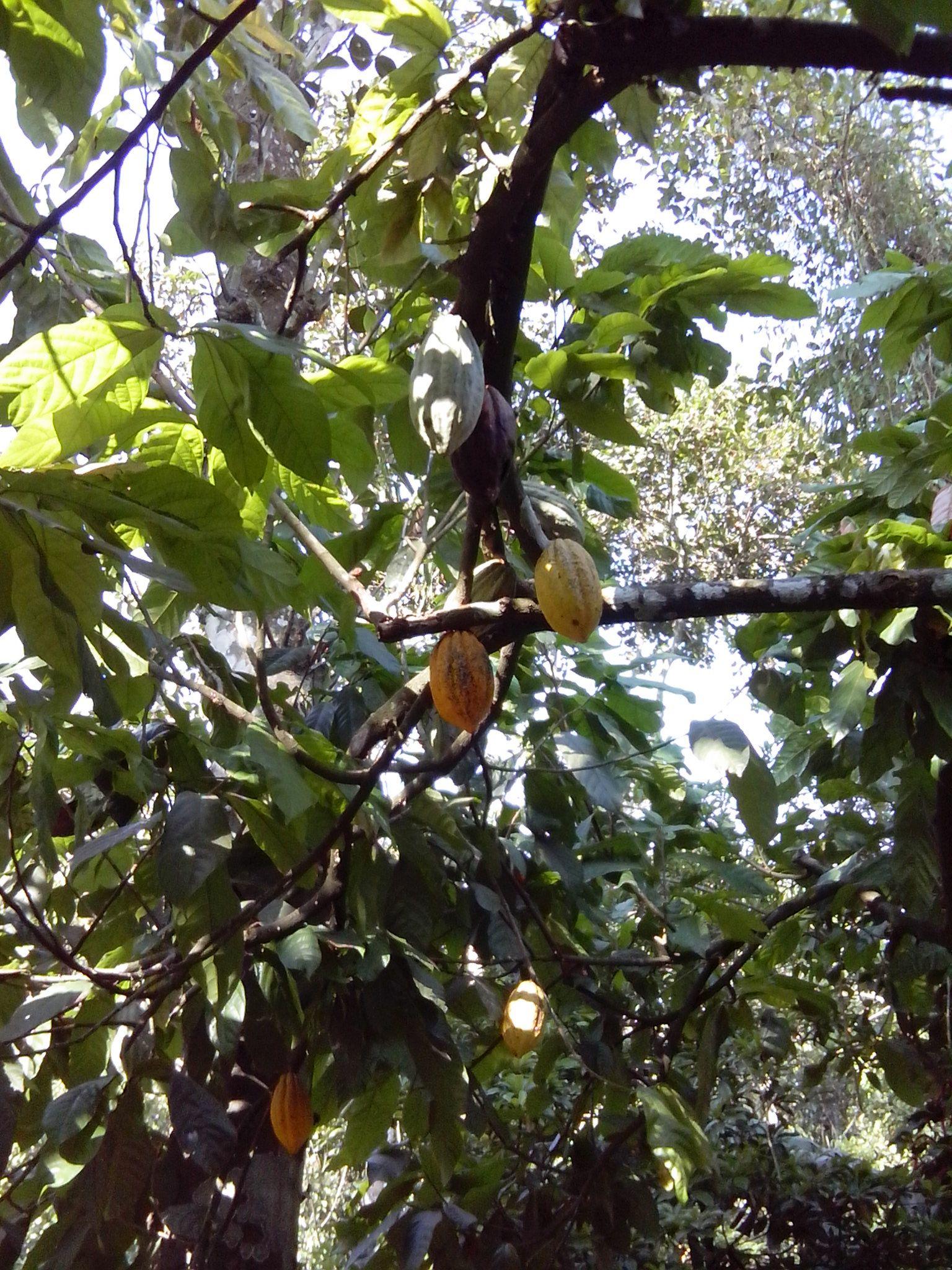 cacao seeds r found inside the fruit Spice garden
