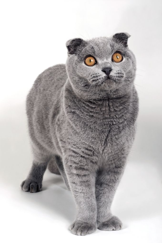 Scottish Fold Cat Breed Information Pictures Characteristics Facts In 2020 Cat Scottish Fold Scottish Fold Kittens Scottish Fold