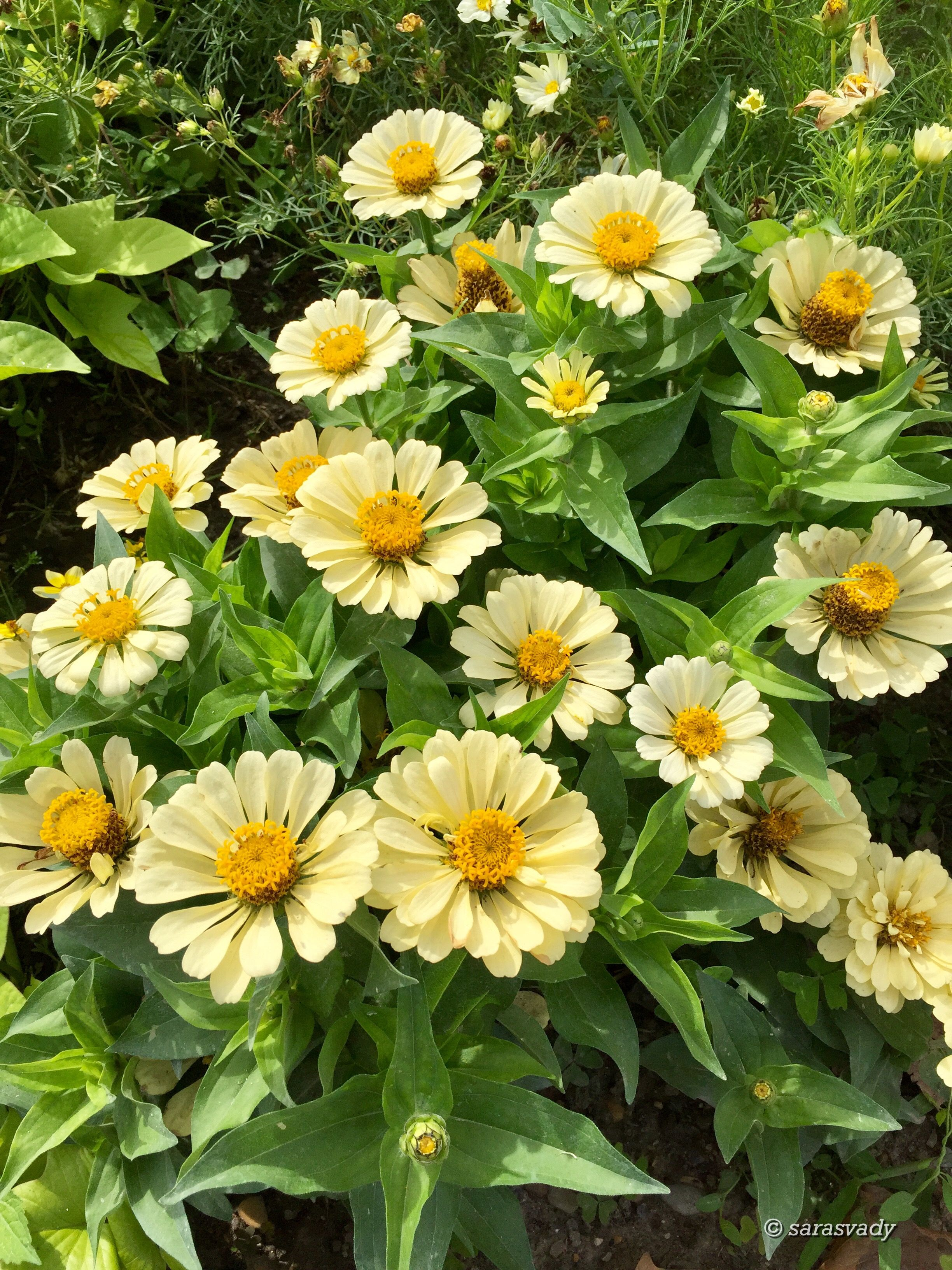 Pin by Aisyah on Beautiful Yellow Flowers Zinnias
