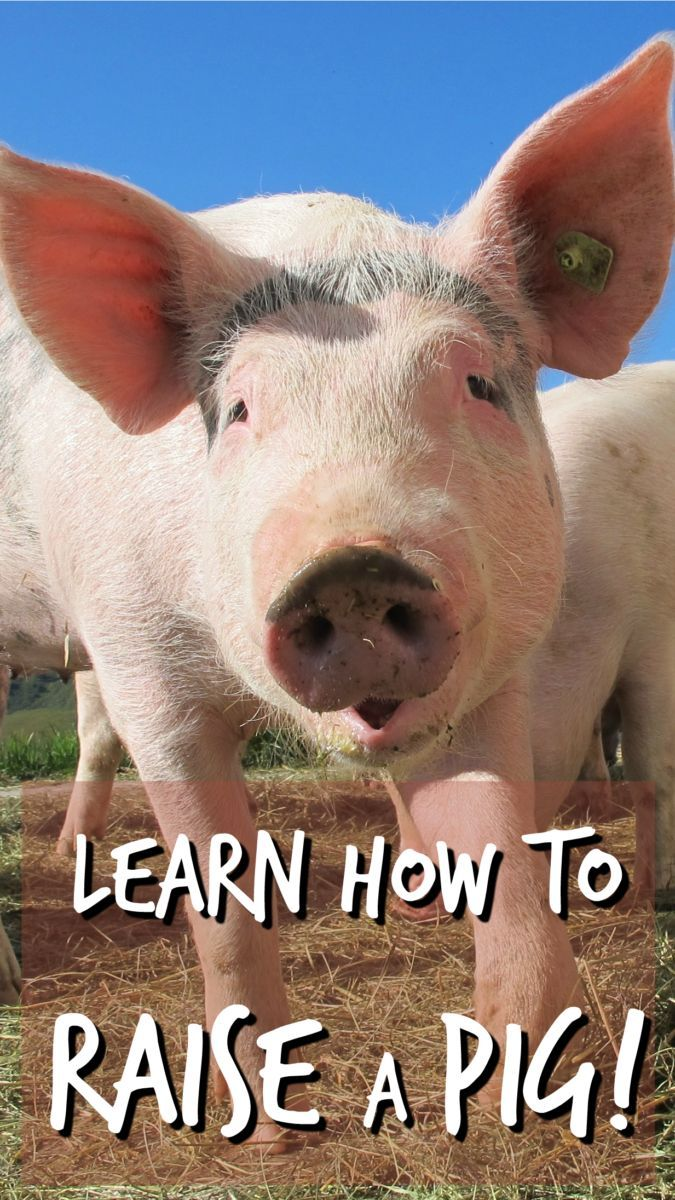 Learn How to Raise a Pig | Raising rabbits, Goat care ...