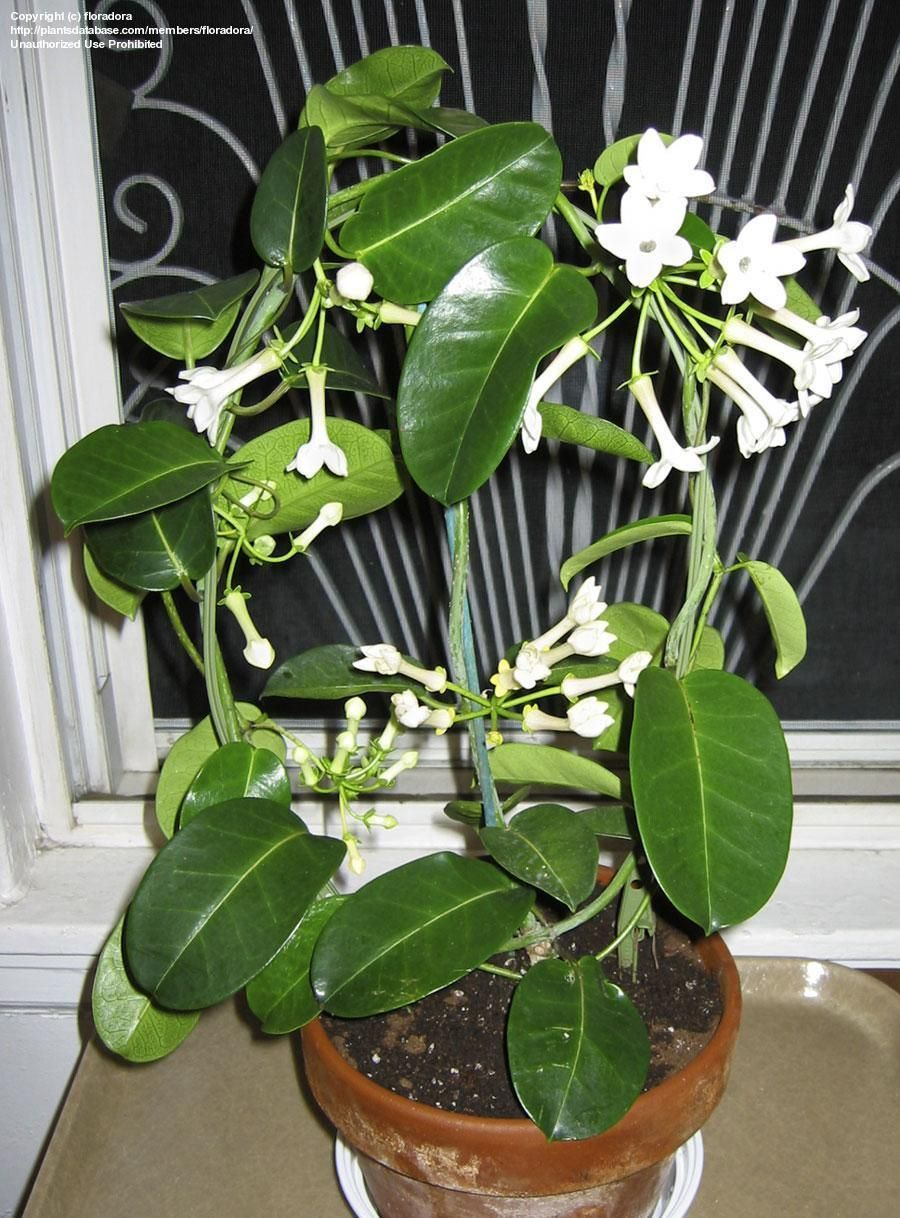 Madagascar Jasmine Stephanotis Floribunda Its Pure White Waxy