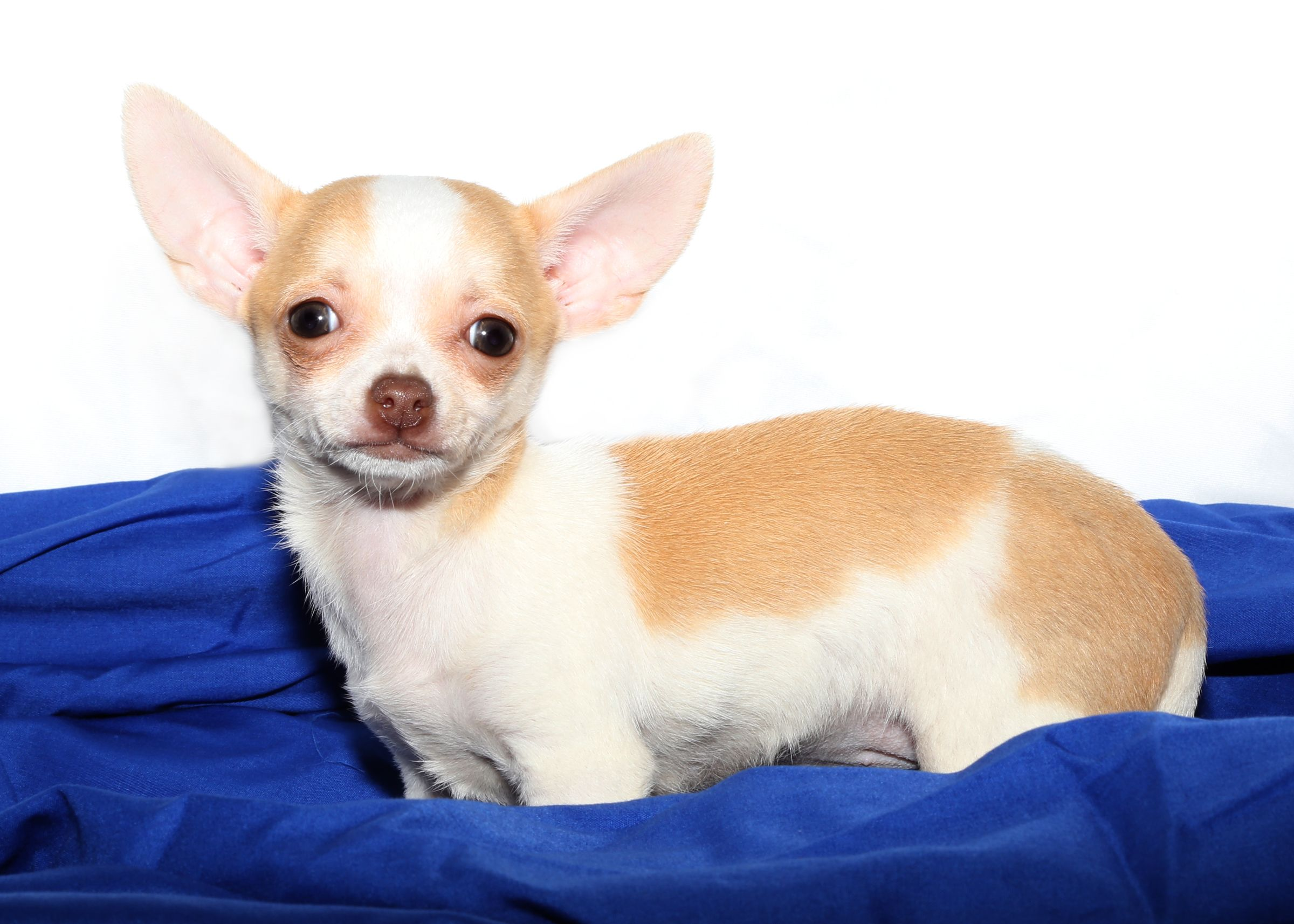 Chihuahua For Sale On Long Island At Puppy Love In Franklin Square