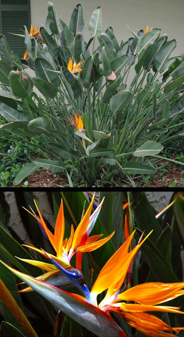 We Picked Up One Of These To Put In A Container Its A Bird Of Paradise Plant Or A Crane Flower Plant Birds Of Paradise Plant Planting Flowers Plants