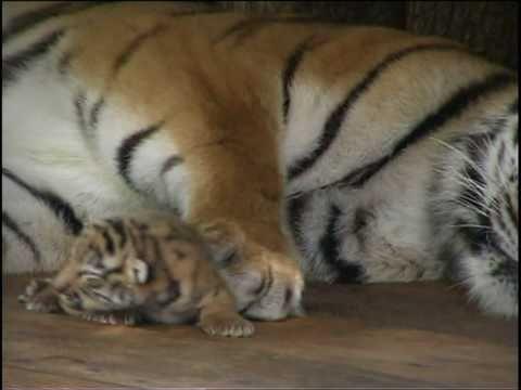 Absolutely cute :Five Baby Tigers five days old ; Super süß: Fünf Tigerb...