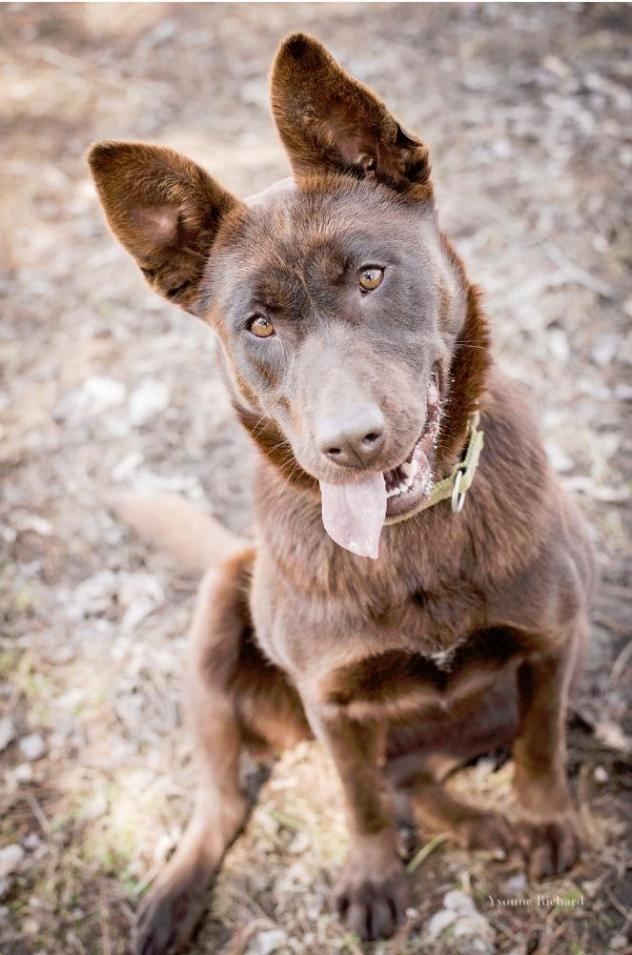 Adopt Maddie On Labrador Retriever Mix Animal Society Labrador