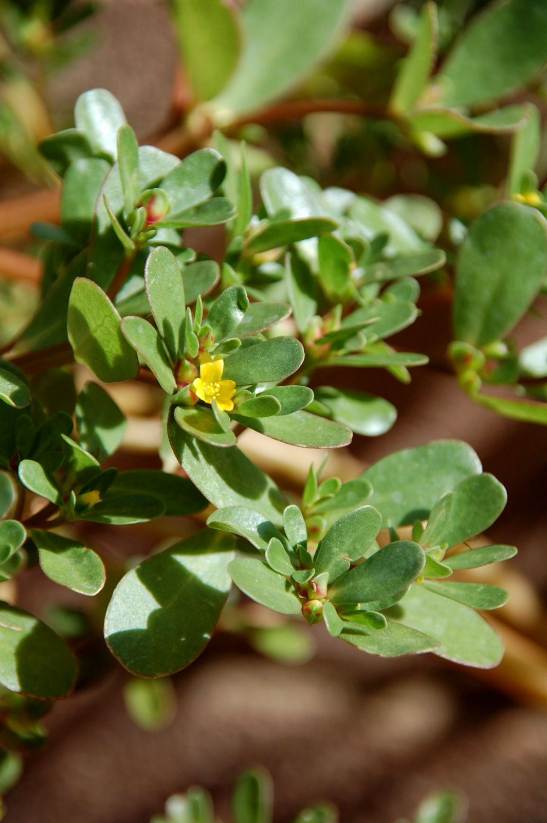 Purslane - Yummy and loaded with Omega 3. I prefer it raw or I make salsa with it.