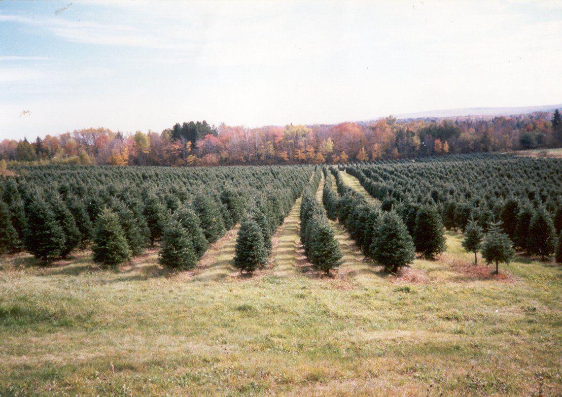 Maine Christmas Tree Farm!!! (With images) Christmas