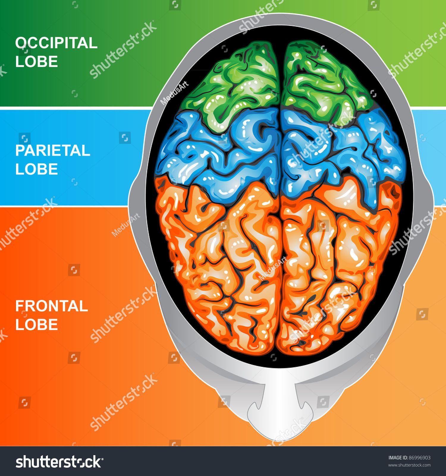 Human Brain View Top Ad Affiliate Brain Human Top View Frontal Lobe Human Brain Best Movers [ 1600 x 1500 Pixel ]