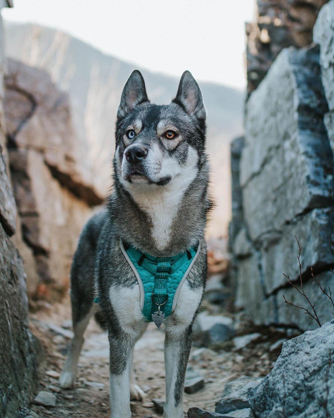 Be A Trailblazer With The Sports Dog Harness Like Blueridgehusky