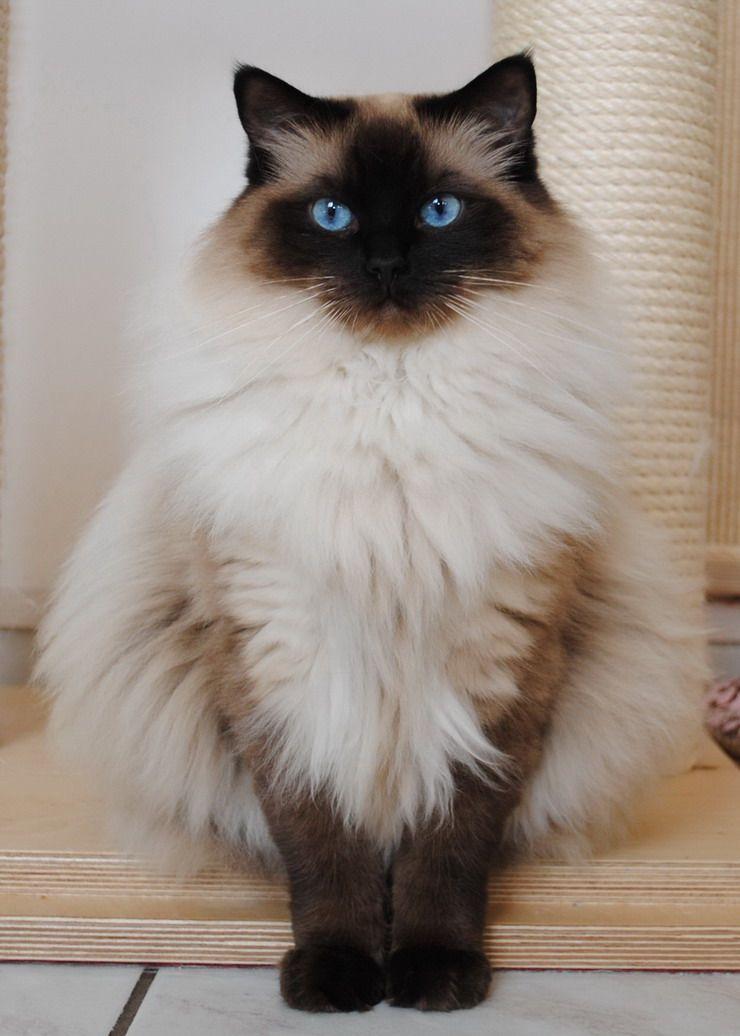 Ragdoll Cat Himalayan Cat Mix Breed