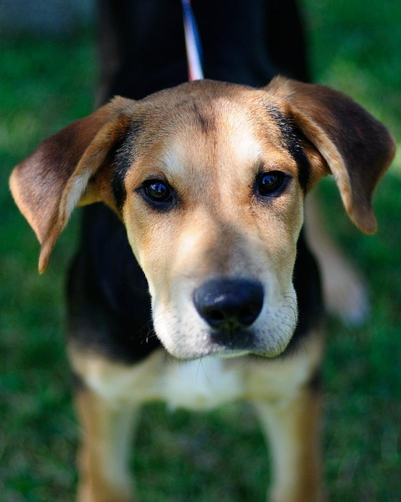 Adopt Allegro On Petfinder Beagle Mix Beagle Dog Lake Jackson