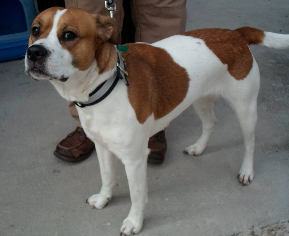 Lola Is An Unaltered 3 Year Old Beagle American Bulldog Mix Lola