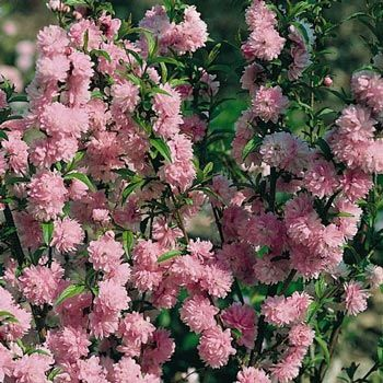 Double pink flowering almond bush spring cttage pinterest double pink flowering almond bush mightylinksfo Images