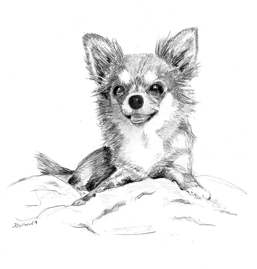 Chihuahua Long Coat Pencil Drawing By J Jalland Animal Drawings