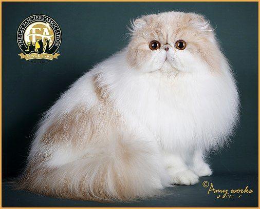 13th Best Cat Gc Nw Marlich Archibald Of Blooddiamond Cream White Persian Persian Kittens Beautiful Cats Persian Cat White