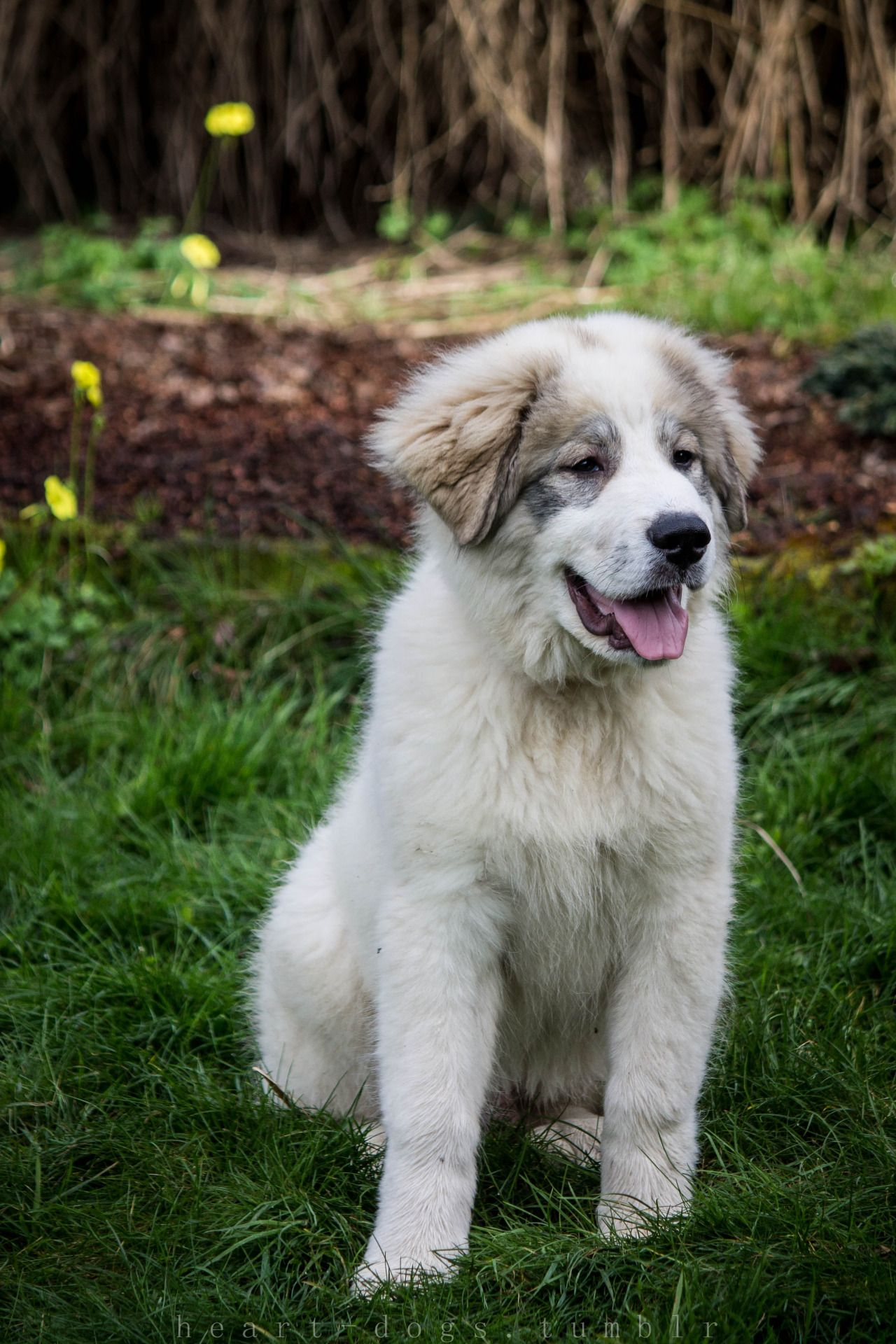 Cole great pyrenees puppy february 15 great pyrenees
