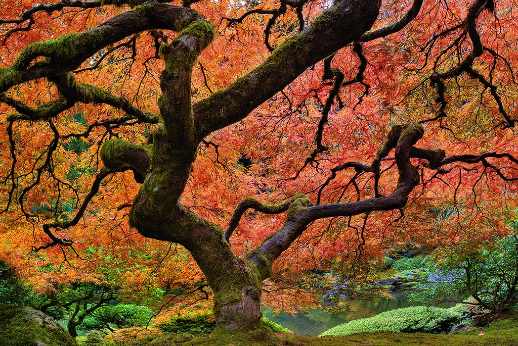 The Maple Tree at Portland Japanese Garden in Fall 2011