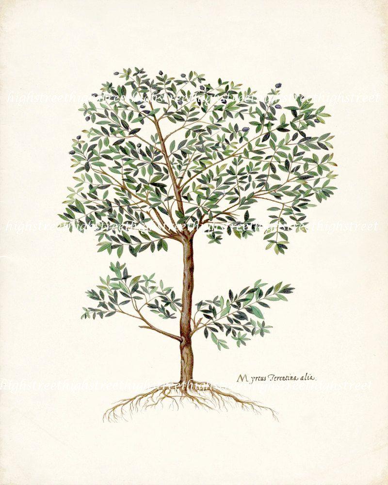 Vintage Italian Olive Tree Botanical Natural History Wall Decor ...