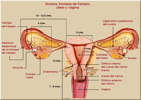 colocando para dentro | La importancia del útero | ff | Pinterest