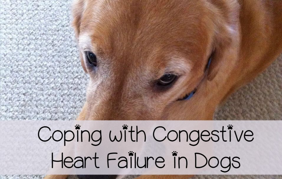 Congestive Heart Failure In Dogs Care And Coping Heart Failure