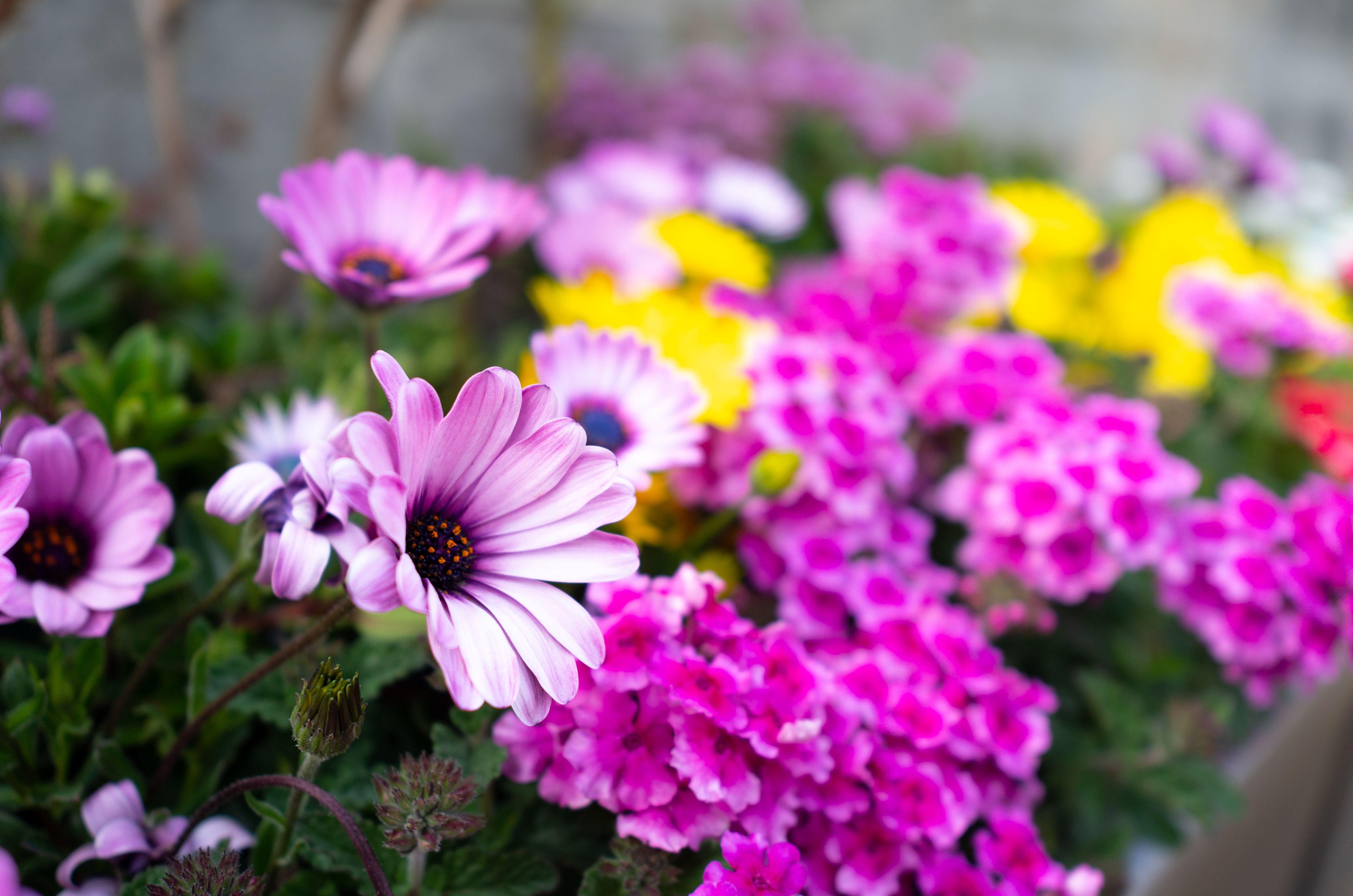 How To Grow Gerbera Daisy Outdoors Gerbera Daisy Care Gerbera