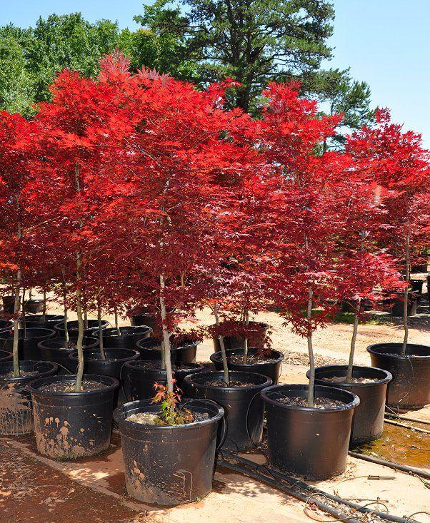 Fireglow Japanese Maple Tree Beautiful Gardens And Flowers