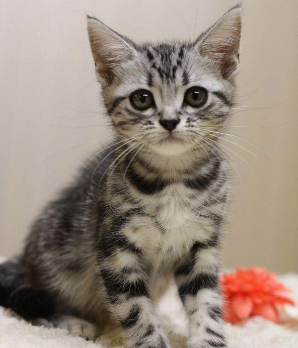 アメリカンショートヘア 画像 子猫 可愛いサバトラさん画像20選