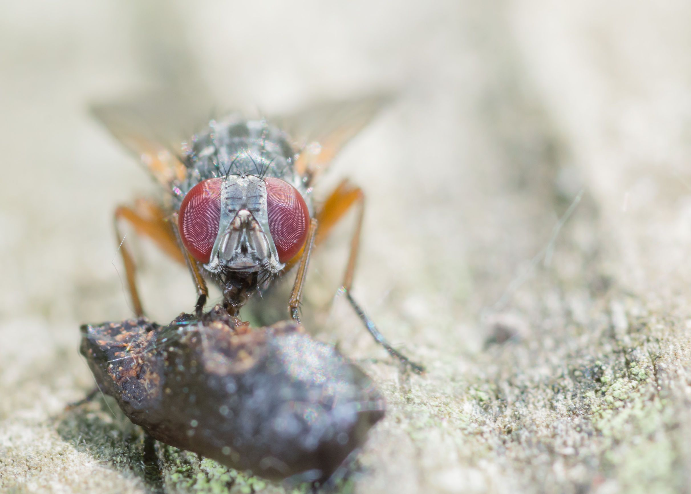What Do Flies Eat Terminix, Pests, Flying