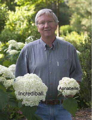 Incrediball Vs Annabelle Incrediball Hydrangea Annabelle
