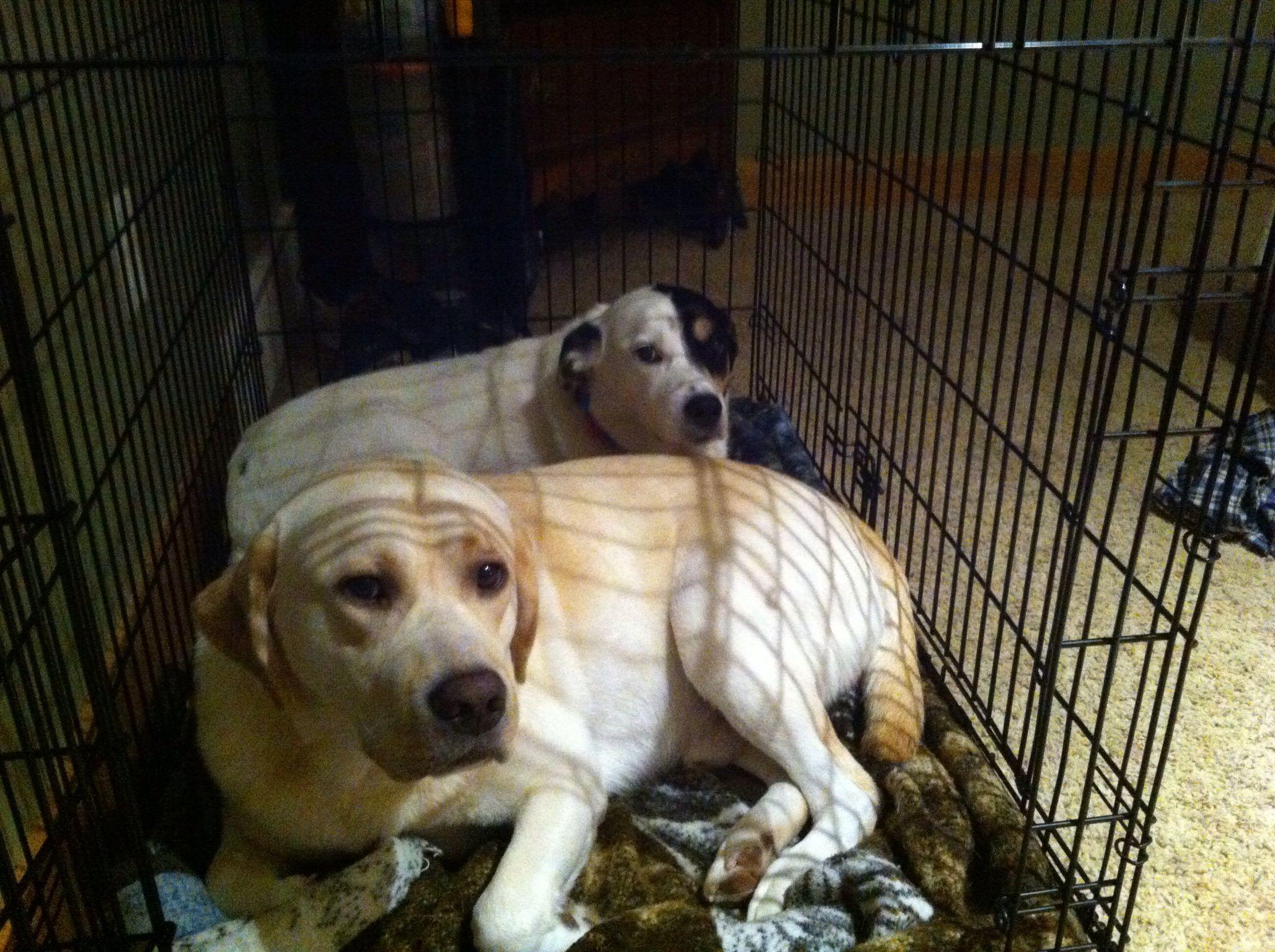Buford (English Lab) and Glory (English Setter Beagle mix