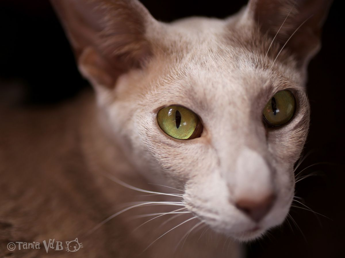 OSH (Oriental Shorthair) Colour Fawn Picture by