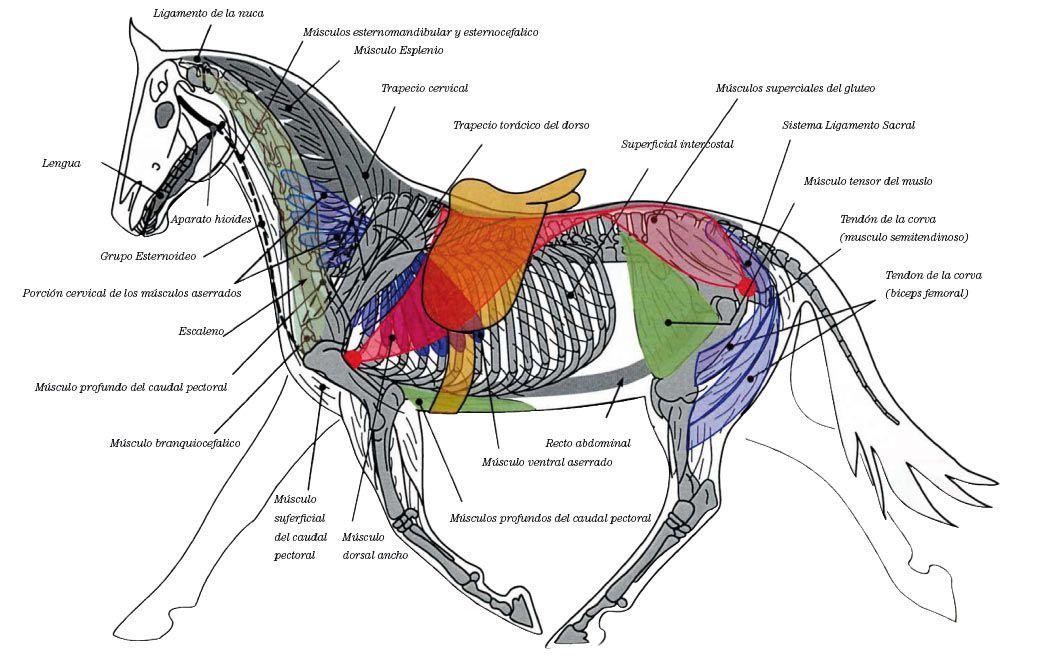 Biodinámica Equino | Veterinaria | Pinterest | Rodeo, Los caballos y ...