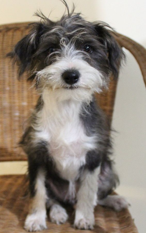 Ruffles Is A Gorgeous Little Maltese X She Is Well Behaved