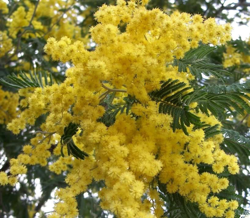 Details About 10 Golden Mimosa Acacia Baileyana Yellow Wattle Tree