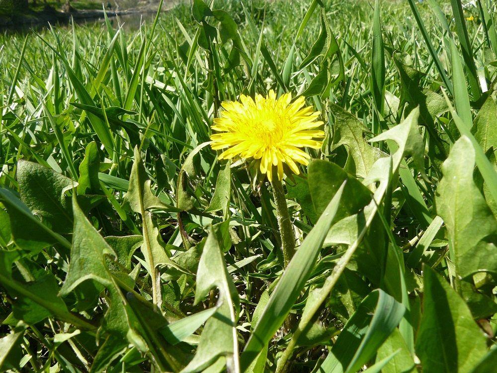 #dandelion #flower #flowers #yellowFlower #nature #spring #summer #bloom #travel #Foto by OlgaHielga