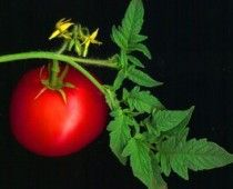 How to grow delicious tomatoes anywhere! Article and slide show.