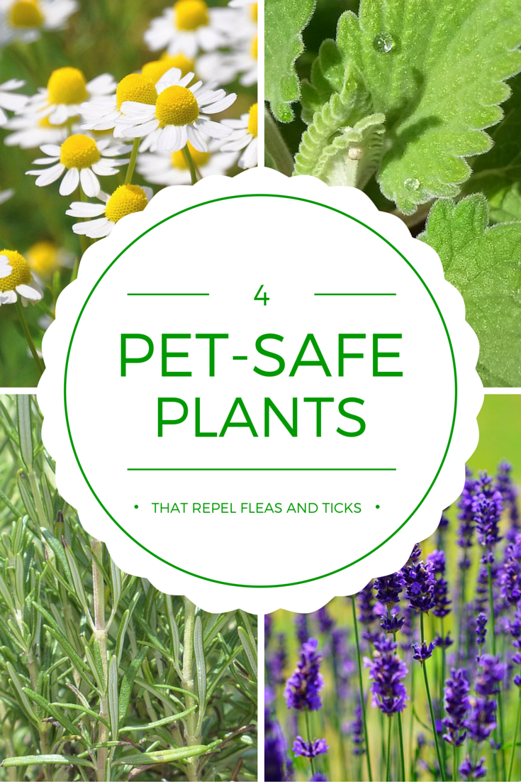 4 Pet Safe Plants That Repel Ticks And Fleas Plants