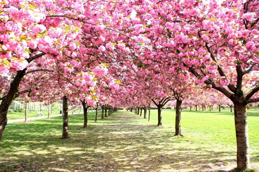 Sakura Botanical Gardens Brooklyn Botanical Garden Botanical Gardens Near Me