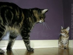 Introducing A Kitten To Your Older Cat Older Cats Bengal Cat Facts Pets