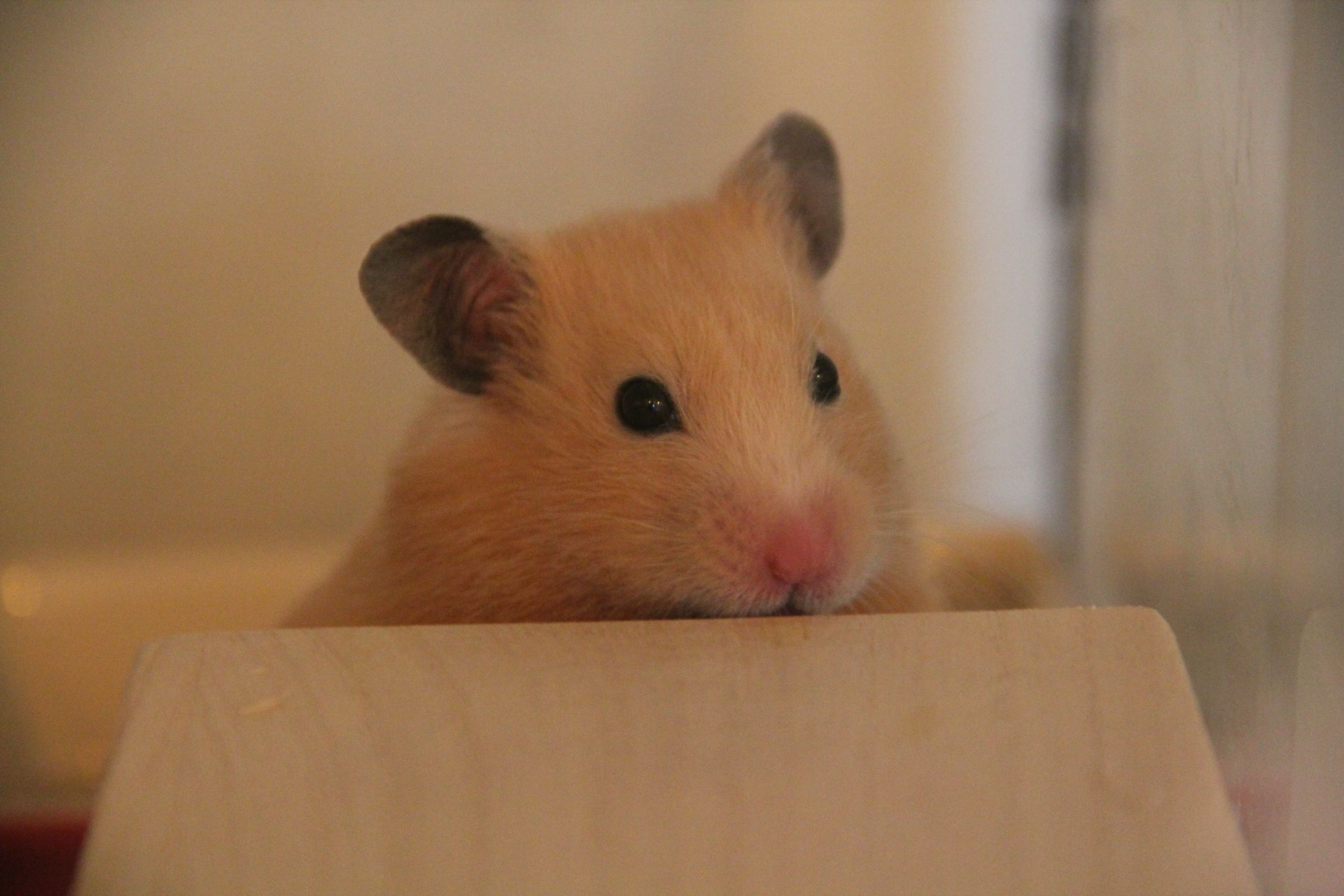Black Eyed Cream Syrian Hamster Syrian Hamster Hamster What Is