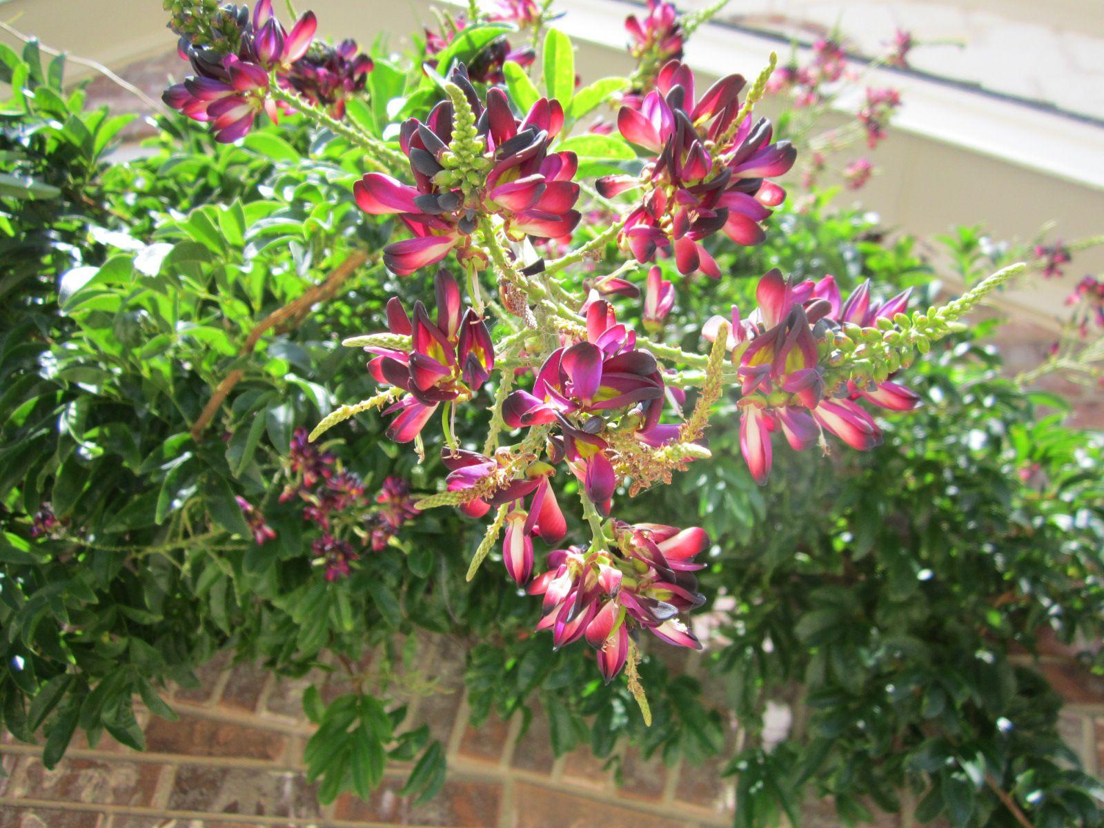 Evergreen Wisteria Reddish Purple Highly Fragrant Pea Like Blooms In 8 Grape Like Clu Drought Tolerant Plants Drought Resistant Plants Deer Resistant Plants