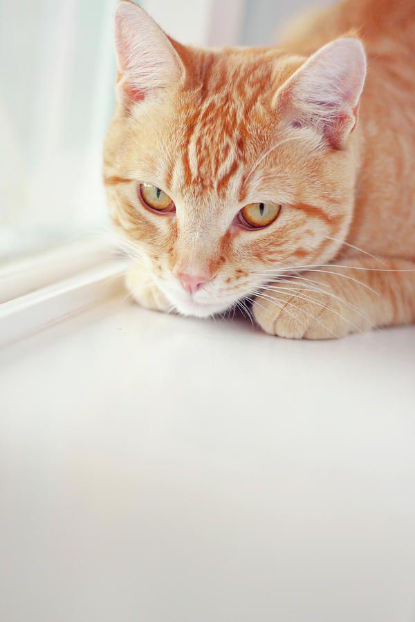Orange Tabby Cat On White Window By Kellie Parry