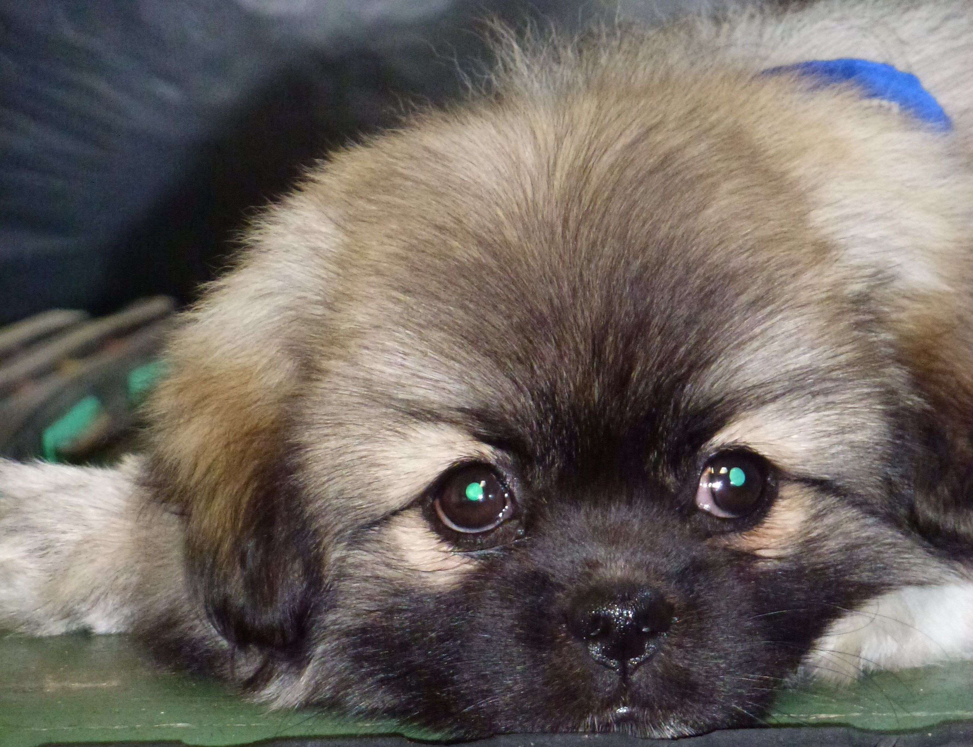 Tibetan Spaniel Puppy Too Cute Looks Just Like My Coco Did As A