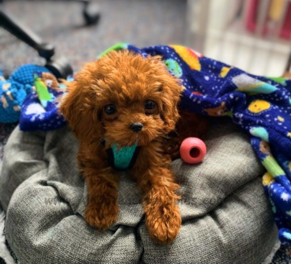 Lovely Hershey May You Always Be Happy Https Www Alohateacuppuppies Com Teacuppoodle Tea In 2020 Teacup Puppies Red Poodle Puppy Teacup Puppies For Sale