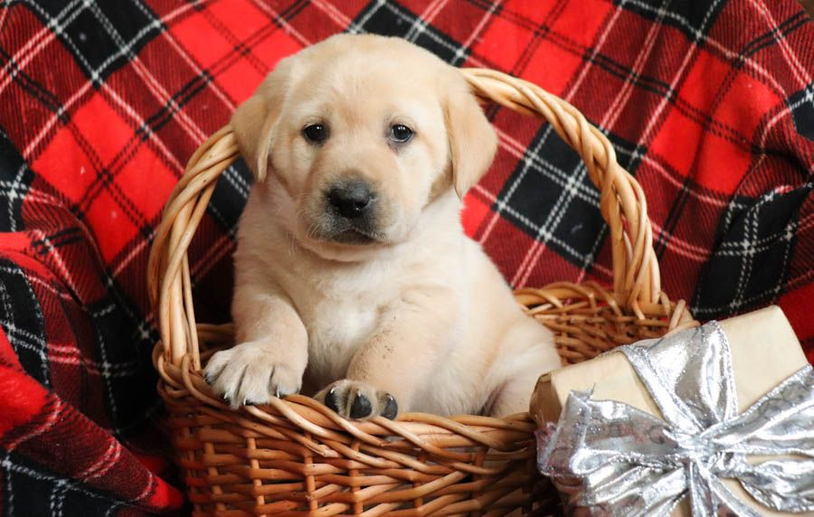 White lab puppies for sale bc