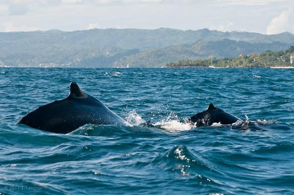 De Enero A Marzo La Bahía De Samaná Está Poblada De Ballenas Jorobadas Que Vienen A Aparearse Y Reproducirse En El Santuario Mamífero De La Repúb Whale Animals