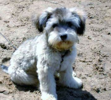 The Rochambeau Of Riley Schnoodle Schnoodle Puppy Snoodle Puppies