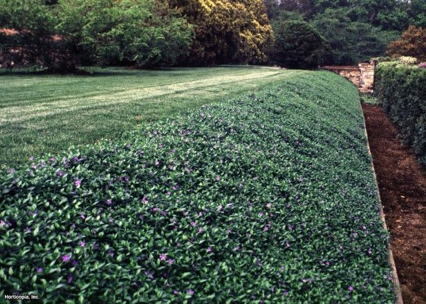 Periwinkle Hillside Ground Cover Landscaping With Rocks Sloped Backyard Ground Cover