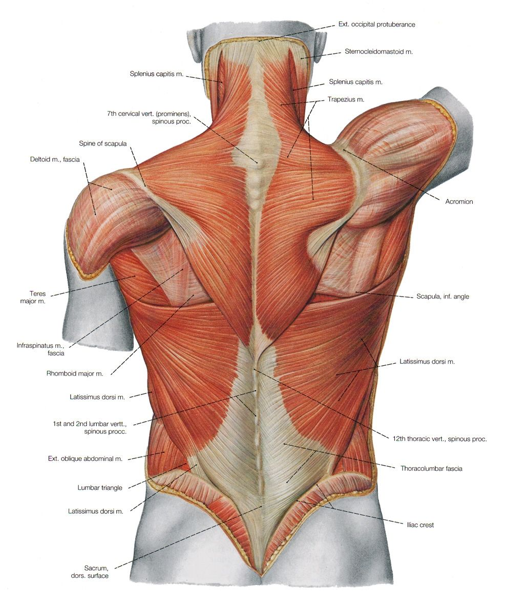 Female Torso Musculature Labelled Back Muscles Anatomy Anatomy Of ...