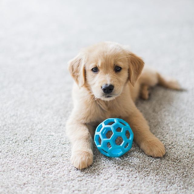 Adorable Golden Retriever Puppy Just 8 Weeks Old And Her First Day